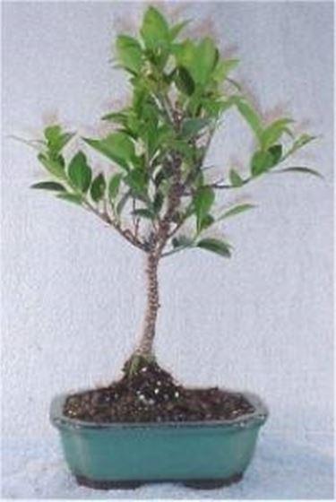 potatura bonsai ficus ficus