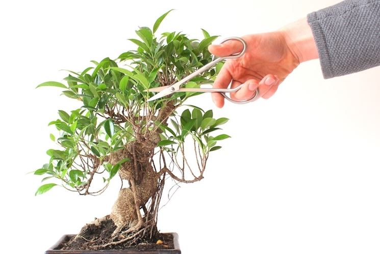 potatura bonsai ficus ficus come potare i bonsai di ficus. Black Bedroom Furniture Sets. Home Design Ideas