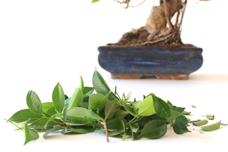 potatura bonsai ficus ficus come potare i bonsai di ficus