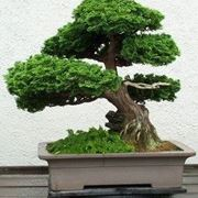 ficus ginseng bonsai cura