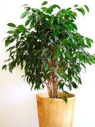 Perfect Potatura Ficus Benjamin