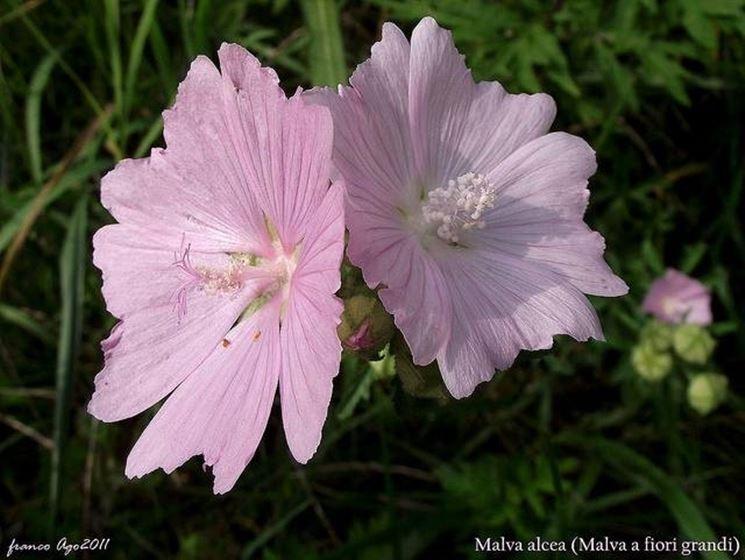 Malva alcea= specie del fiore. Google immagini