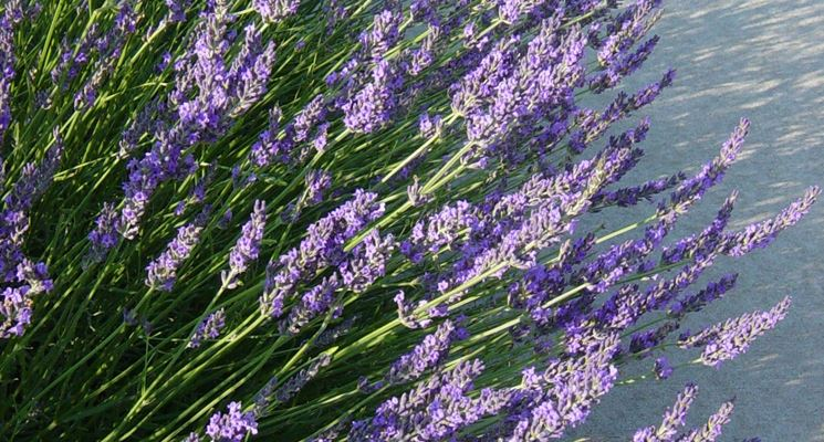 Fiori di lavanda secchi fiori secchi fiori lavanda secchi for Fiori di lavanda
