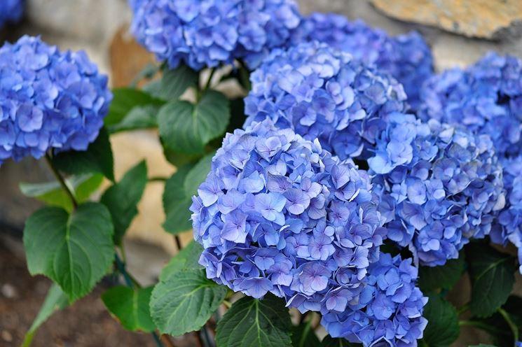 Ortensie Blu : Fiori secchi ortensie essiccate