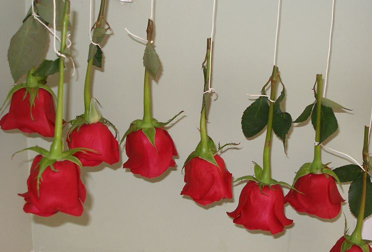 rose appese al muro