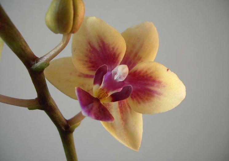 fiori Cambria
