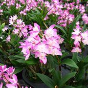 Fiori Dendrobium nobile