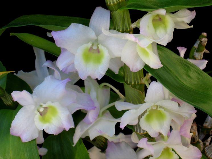 Varietà Dendrobium nobile