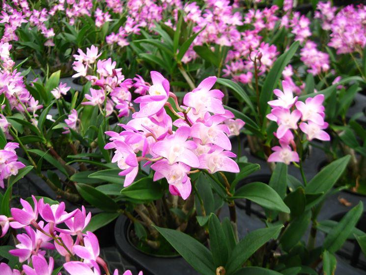 Piante fiori Dendrobium nobile