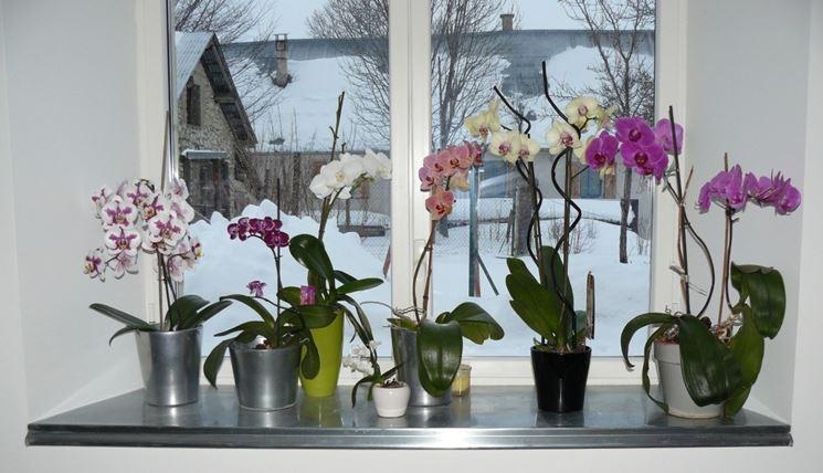 Orchidee su finestre