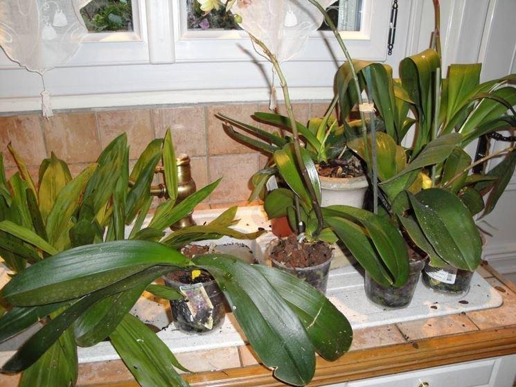 Coltivare orchidee orchidee come coltivare le orchidee - Orchidee da esterno ...