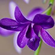orchidea blu.