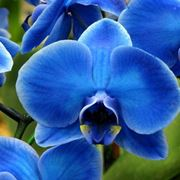 orchidee blu e gialle