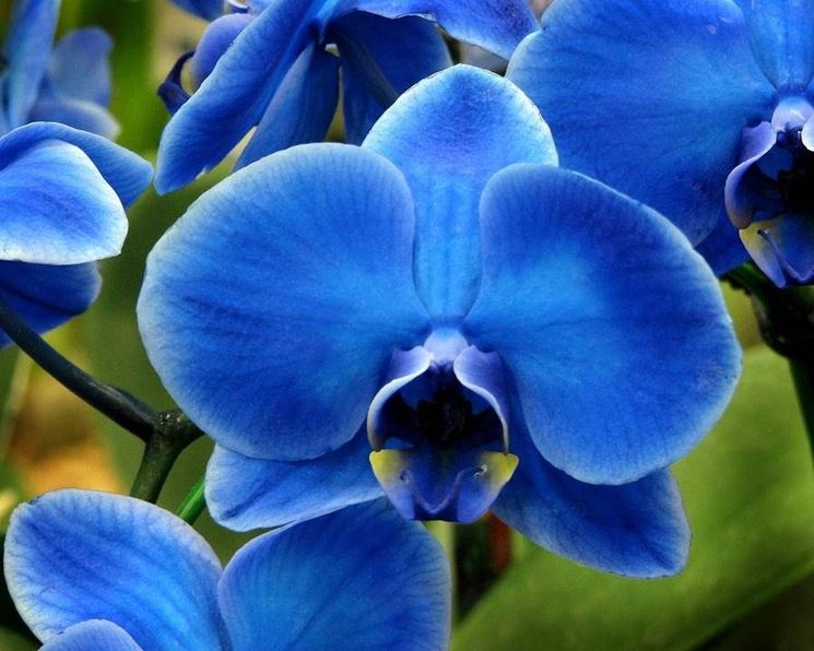 orchidee blu e gialle