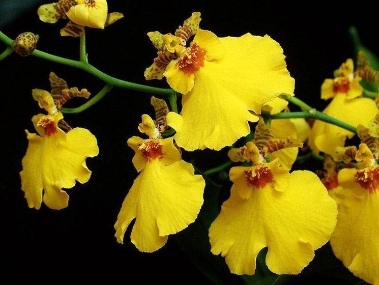 Come coltivare le orchidee orchidee coltivazione delle for Orchidea foglie gialle