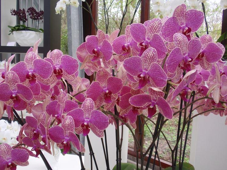 orchidee in fiore in vaso