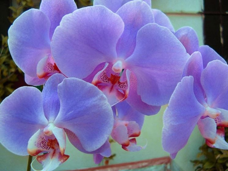 orchidee lilla e rosse