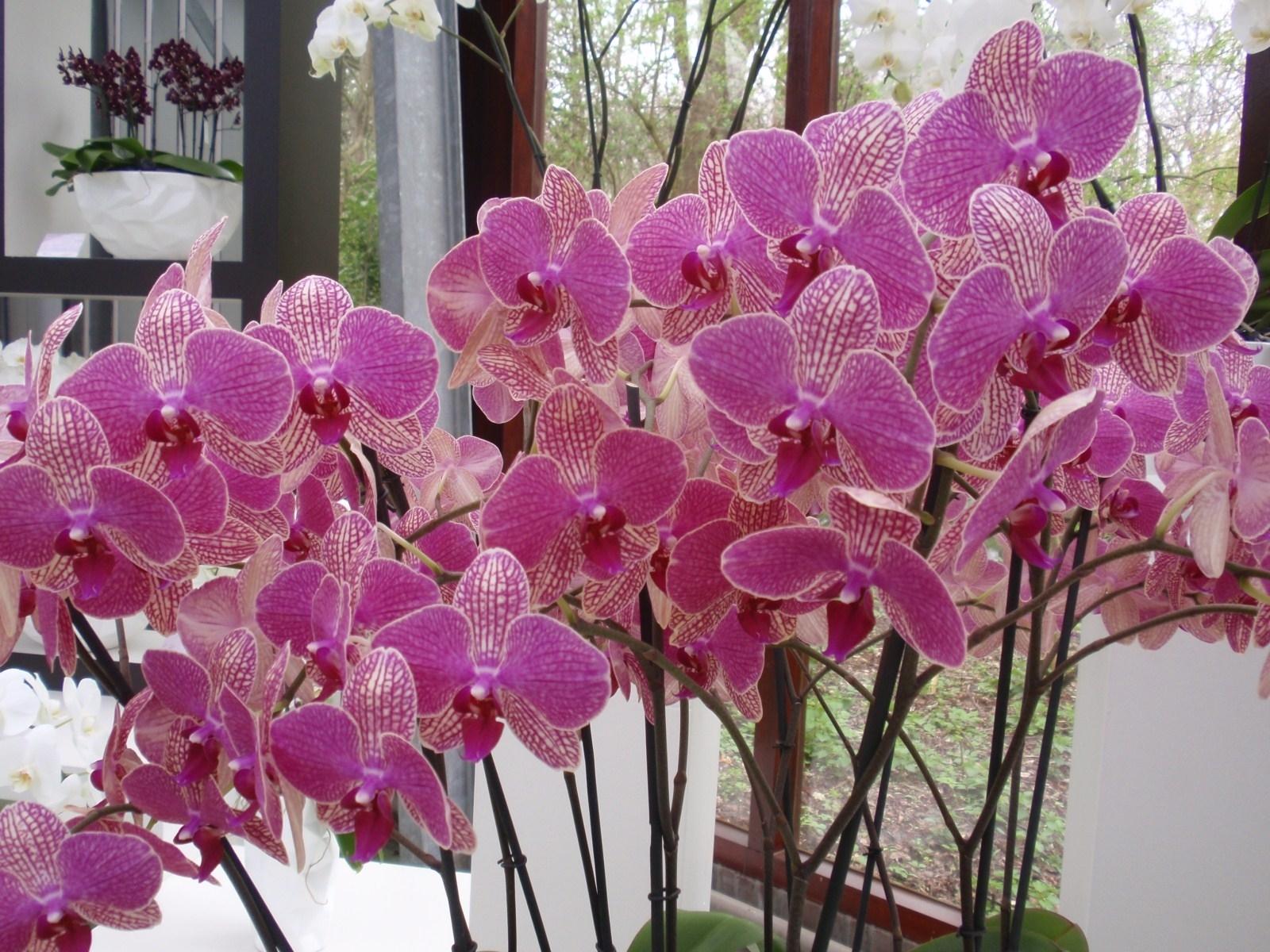 Come coltivare le orchidee orchidee coltivazione delle for Vaso orchidea