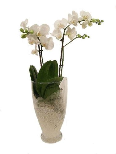 orchidee bianche in vaso