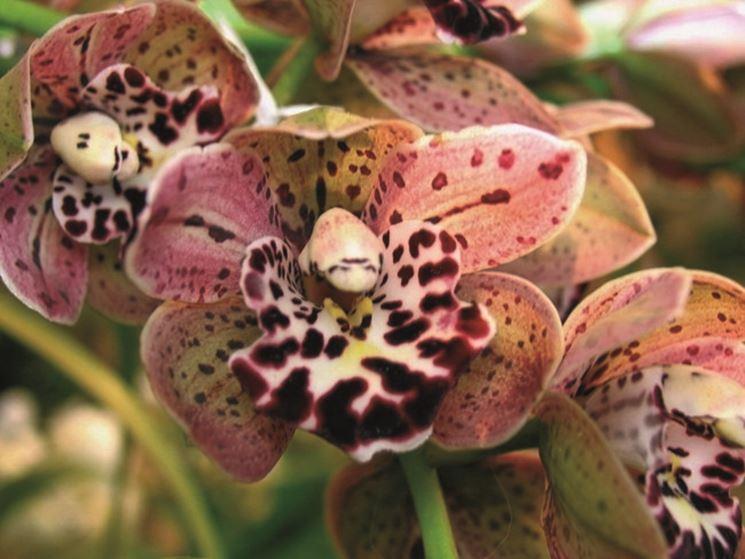 Come curare un orchidea orchidee cura delle orchidee for Orchidea foglie gialle