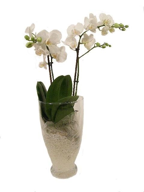 Come Curare Un Orchidea Orchidee Cura Delle Orchidee