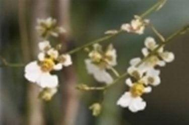 Alcuni fiori di Orchidea