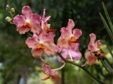 orchidea candida.