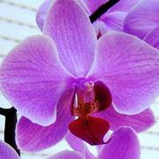 bel fiore orchidea.