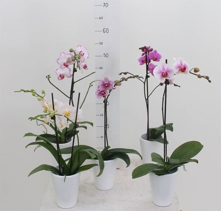 Curare Le Orchidee Orchidee E Curare Le Orchidee