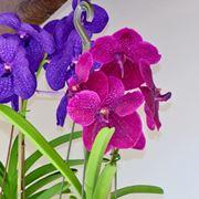 Foglie fiori orchidea Vanda