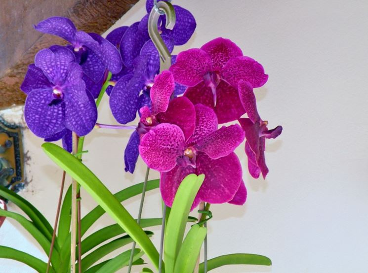 Curare orchidea vanda orchidee coltivare orchidea vanda for Semi orchidea