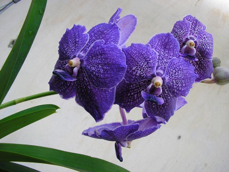 Fioritura orchidea Vanda