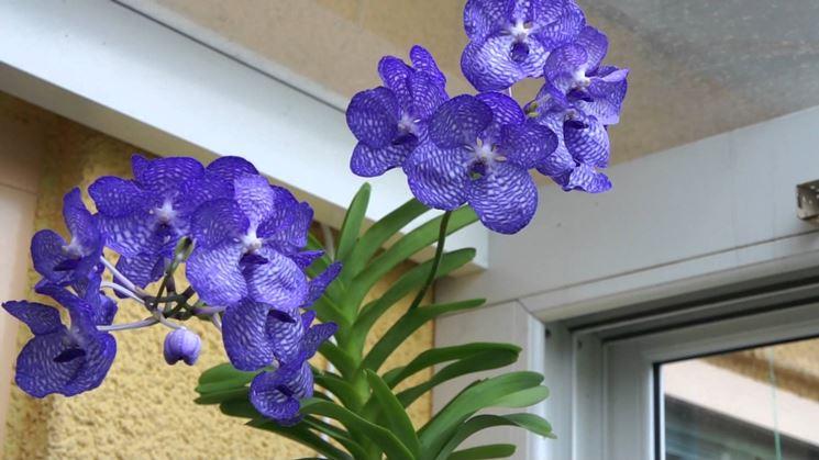 Pianta orchidea Vanda
