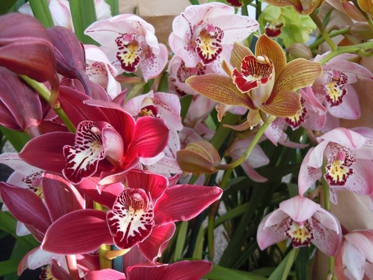 Cymbidium multicolore