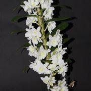 Fusto Dendrobium Nobile