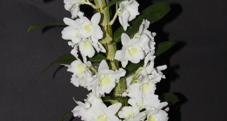 dendrobium nobile orchidee caratteristiche della dendrobium nobile. Black Bedroom Furniture Sets. Home Design Ideas