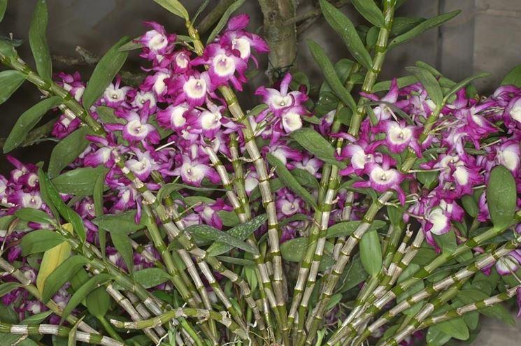 Dendrobium Nobile in piena fioritura