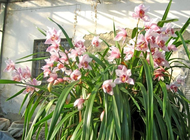 Fioritura orchidee orchidee orchidee in fiore for Orchidee da esterno