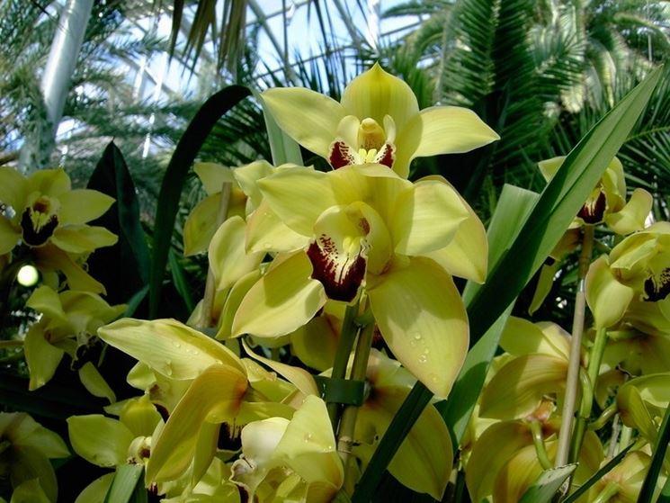 Orchidee cresciute in serra