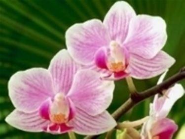 Un bellissimo fiore di Orchidea rosa