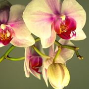 orchidee da giardino