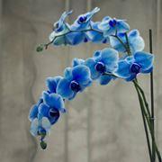 orchidea fioritura