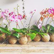 esemplari orchidea.