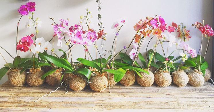 esemplari orchidea