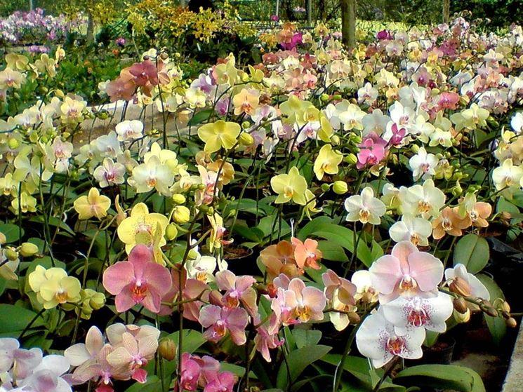 orchidea colorata