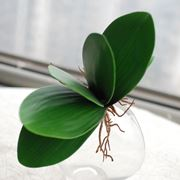 Un esempio di foglia di orchidea sana.