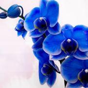 La vanda coerulea � simbolo di bellezza e perfezione