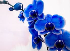 Le orchidee Blu