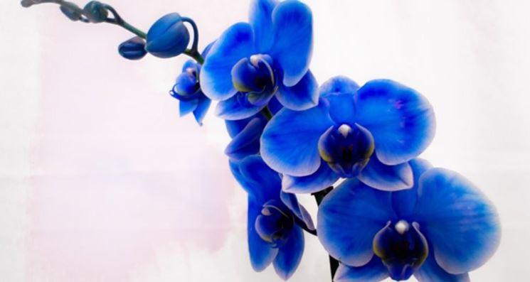 La vanda coerulea è simbolo di bellezza e perfezione