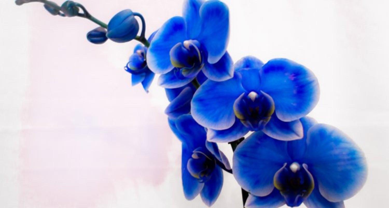 le orchidee Blu - Phalaenopsis